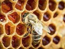 abeille Une abeille en classe de maternelle